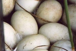 duck eggs in a nest